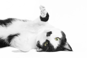 Black and white cat in the studio