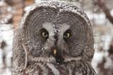 Great Gray Owel