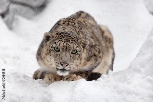 Foto op Canvas Luipaard Snow leopard