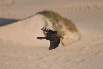 Birds Eye View of a Gliding Crow
