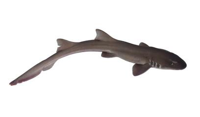 Whole fresh shark isolated on white background