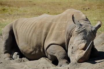 Sleeping rhino in Nakuru national park, Kenya.