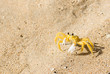 Yellow Ghost crab on sandy beach