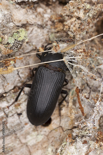 Mealworm beetle, Tenebrio opacus sitting on wood, macro photo