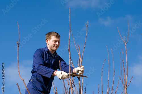 Man pruning apricot branches