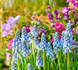 Frühlingserwachen: Duftende Traubenhyazinthen