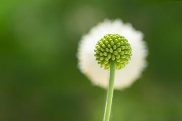 Flower bud and flower