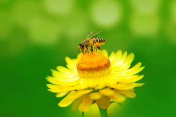 Bee on a daisy flower