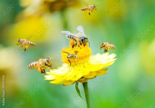 Leinwanddruck Bild Group of bees on a flower