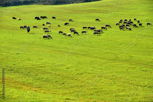 Sheep Grazing shepherd and extensive pasture