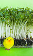 Watercress salad, spring, yellow toy chick