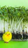 Watercress salad, spring, yellow toy chick