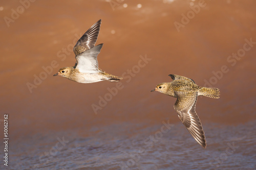 canvas print picture Goldregenpfeifer vor Welle (Pluvialis apricaria)
