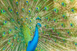 The portrait of beautiful peacock with spread feathers out