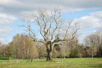 old tree without leaves in killarney national park