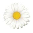 Margeritenblüte