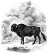 Steer - Taureau - Stier