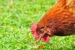 Domestic Chicken Eating Grass