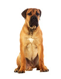 Fototapety Rare breed South African boerboel posing in studio.