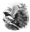 Bird : Muscicapa Paradisi