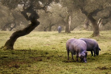 Iberian pig in the meadow