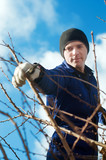 Young man  pruning apricot brunches