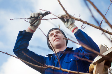 Yyoung man pruning apricot brunches with the pruner