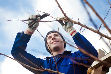 Man pruning apricot brunches with the pruner