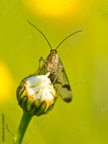 Scorpion fly portrait