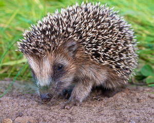 Hedgehog Baby close up