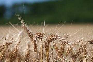 blé mûr