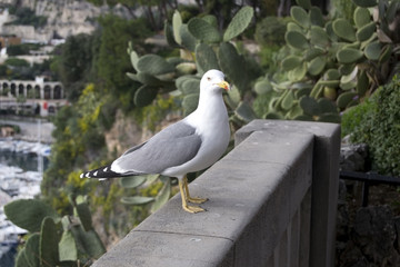 Crazy seagull in Monaco