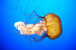 Orange jellyfish (Chrysaora fuscescens)