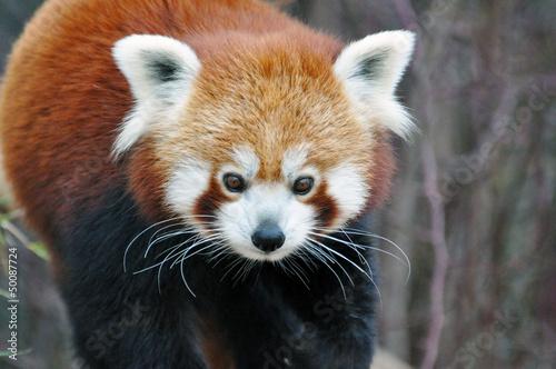 Papiers peints Panda Kleiner Panda, Red Panda