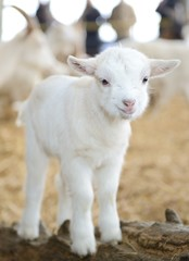 Lamm im Stall auf Biobauernhof