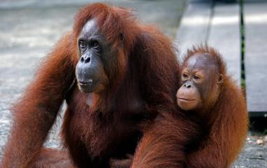 Orangutan with her baby, Semenggoh, Borneo, Malaysia