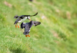 Two puffin landing on green grass