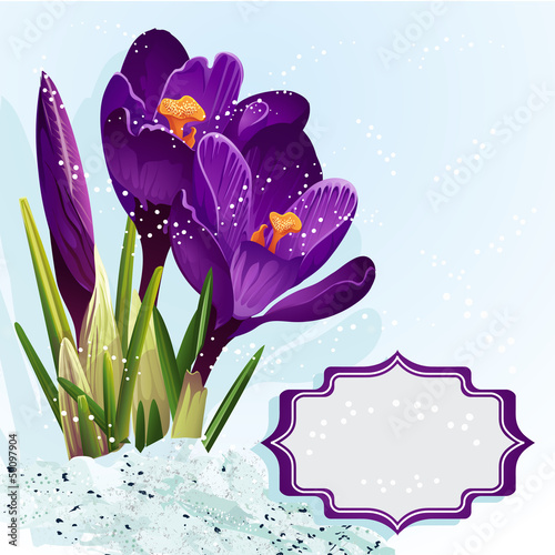 Background with purple crocuses in the snow.