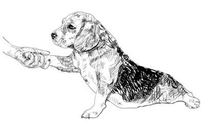 Human hand holding beagle's paw.