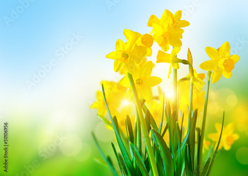 Poster Narcis Bright Yellow Daffodils