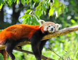Red panda on tree