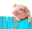 Funny pig hanging on a fence. Isolated on white background. - 50108366