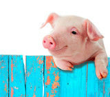 Fototapety Funny pig hanging on a fence. Isolated on white background.
