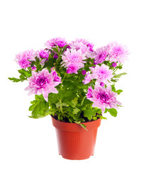 Chrysanthemum in a pot. Isolated on white background.