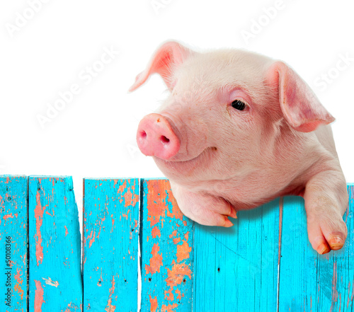 Leinwandbild Motiv Funny pig hanging on a fence. Isolated on white background.
