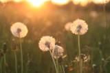 Dandelion Seeds Blowball