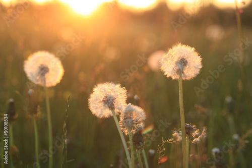 Fotobehang Paardebloem Dandelion Seeds Blowball