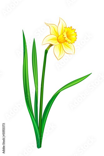 Narcissus - eps10 vector illustration