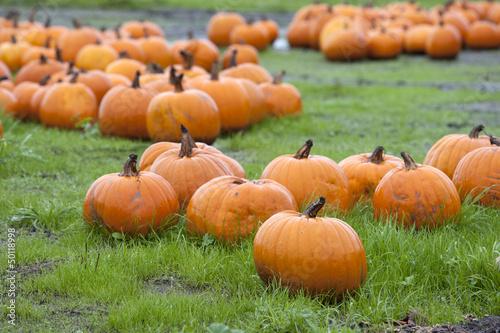 Field of pumpkin
