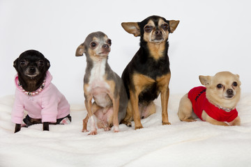Group of cute chihuahuas.